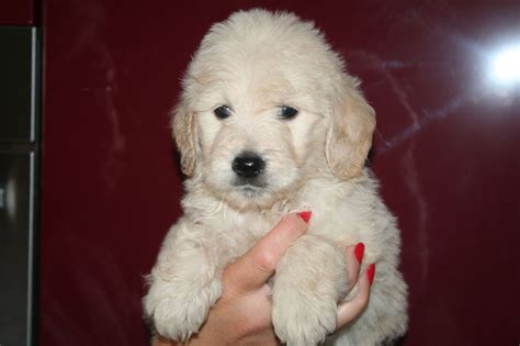 goldendoodle puppy breeders in colorado goldendoodle puppies maldon essex pets4homes