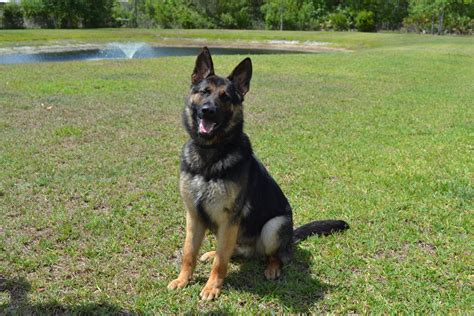 how to k9 dogs available dogs at central florida k9 orlando