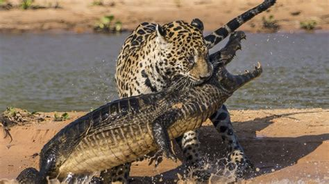 Jaguar Gets Alligator The Top 10 Top 10 Jaguar Vs Crocodile Jaguar Attacks