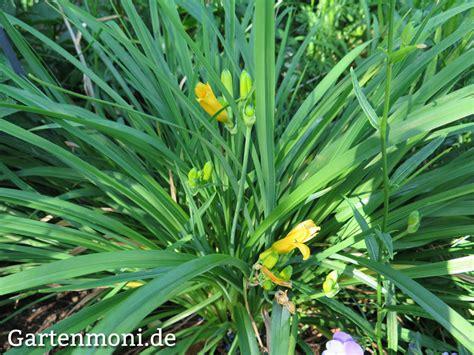 Lilie Garten Pflanzen by Verschiedene Lilien Im Garten Gartenmoni Altes Wissen