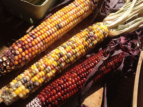 Bibit Jagung Dk 95 glass gem corn jagung unik seperti permata mobgenic