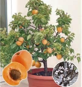 Exceptionnel Arbre Fruitier Pour Balcon #6: abricotier-nain-garden-aprigold.jpg