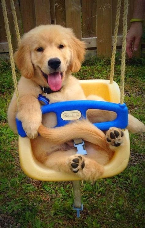 happy golden retriever puppy just had to always happy oshie s world