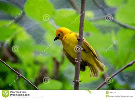 50 top birding in kenya books golden taveta weaver bird species royalty free stock