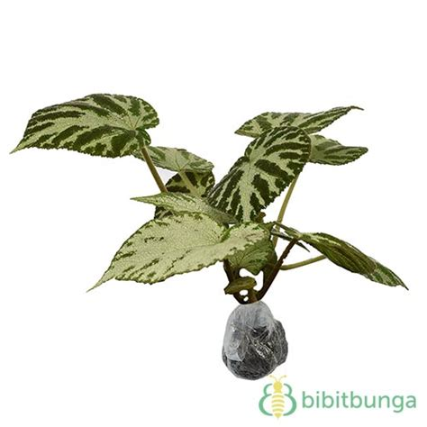 Tanaman Begonia Iron Cross tanaman begonia moss carpet bibitbunga