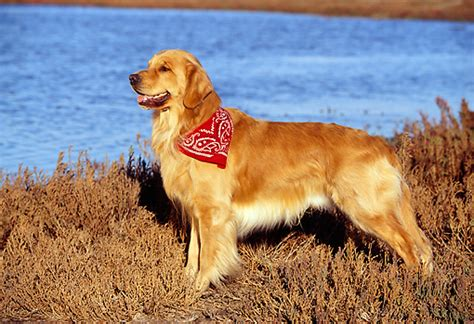 golden retriever puppy bandana bandana animal stock photos kimballstock