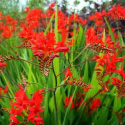 crocosmia lucifer bulbs vibrant red crocosmia easy to