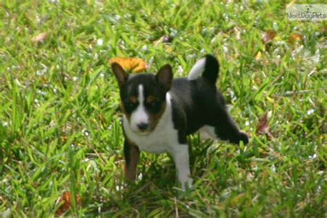 basenji puppies for sale in florida basenji information basenji photos basenji puppy for sale buy puppies breeds picture
