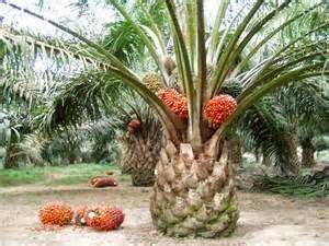 cara membuat minyak dari kelapa hijau catatan harian elaeis guineensis jacq kelapa sawit