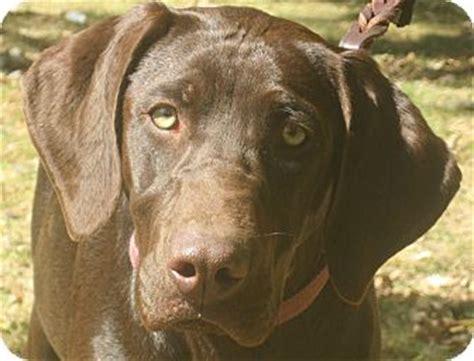weimaraner lab puppies chocolate lab and weimaraner mix breeds picture