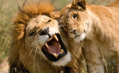 difference between lion and lioness lion rate every animal