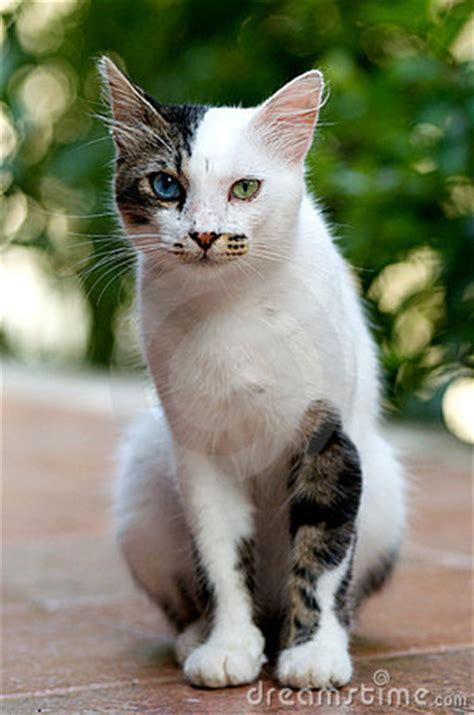 turkish van cat royalty  stock images image