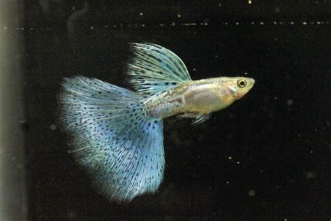 Jual Guppy Half Black Kaskus pets lover indonesia guppy blue grass big dorsal