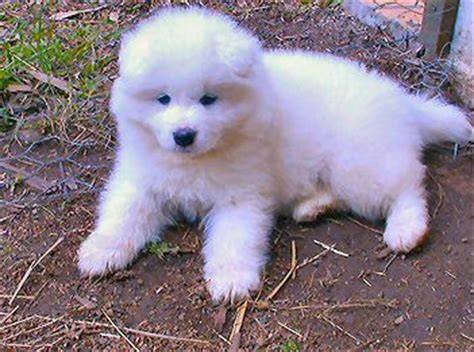 denver puppies for sale samoyed puppies for sale denver usa free classifieds muamat