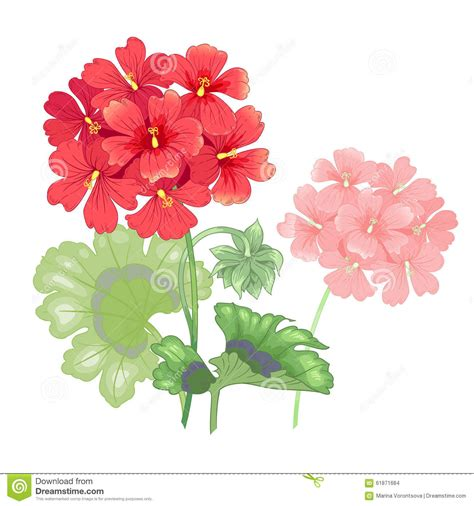 isolated geranium flower on a white background stock