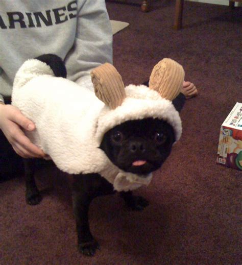 pug sheep this pug is the black sheep of the family