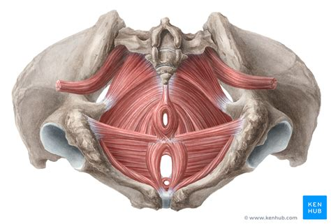 pelvic floor muscles of the pelvic floor anatomy and function kenhub