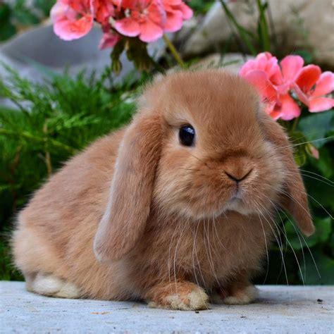 alimentazione conigli nani ariete nano fulvo la stalla dei conigli allevamento e
