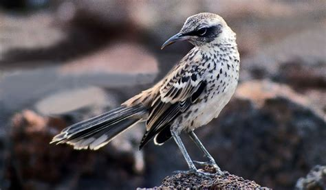 mockingbird of galapagos facts information habitat