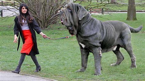largest in the world 15 dogs in the world new