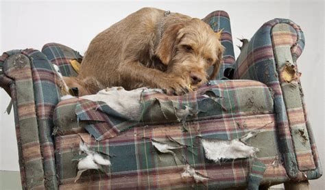 hund sofa 15 ways to prevent dogs from chewing furniture and belongings