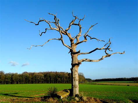 tree in straggle tree in tarrant monkton totally dorset
