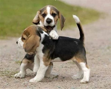 baby beagle puppies 1000 images about beagles on