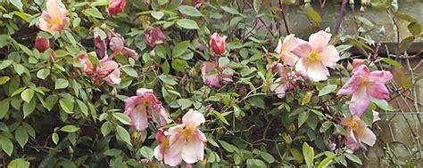 versand gartenbedarf gartenbedarf versand richard ward rosenbeet
