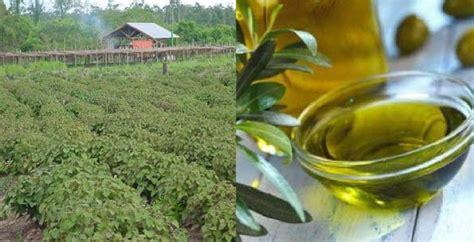 Minyak Nilam manfaat penting minyak nilam melawan depresi hingga demam