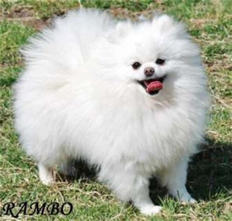 miniature pomeranian husky for sale miniature aussies for sale in mini pomeranian for sale dogs