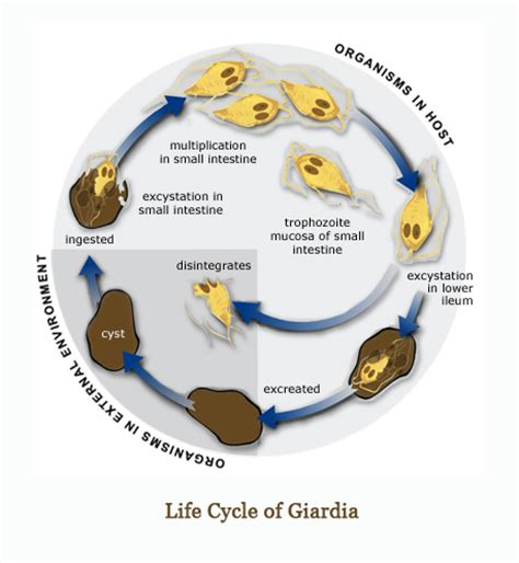 giardia in puppies image gallery cycle giardia humans