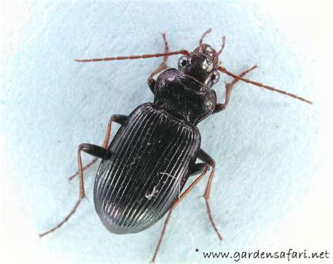 grote zwarte vliegen in huis gardensafari de tuinsafari diverse grotere kevers