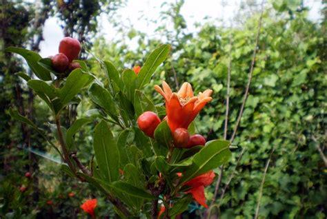 melograno pianta da giardino melograno alberi da giardino come crescere il melograno