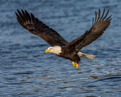 Fly As An Eagle the world s best photos of baldeagle and morffew flickr