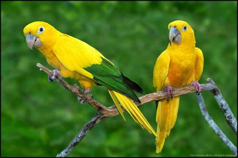Golden Conure Parakeets | 5 interesting facts about golden parakeets hayden s