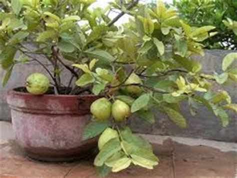 Bibit Benih Seeds Buah Markisa Jumbo Big Fruit 457 best images about bonsai fruit on