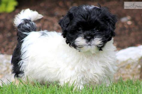 shipoo puppies shih poos information newhairstylesformen2014