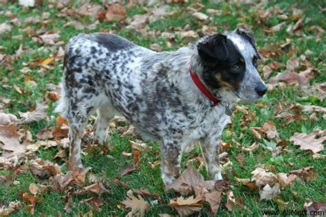 australian shepherd blue heeler mix puppies for sale pics for gt australian shepherd spaniel mix puppies