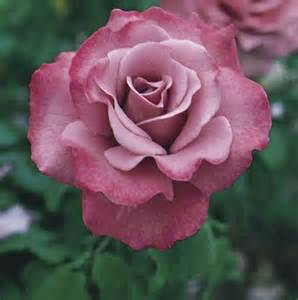 tips for rose care throughout the year how is the roses properly fresh design pedia