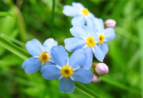 fiore nontiscordardime scelte per te giardino fiore non ti scordar di me myosotis