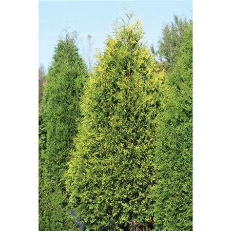 polar gold arborvitae thuja live evergreen shrub shrubs