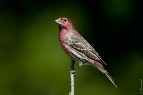 house finch california house finch california 28 images the family birds