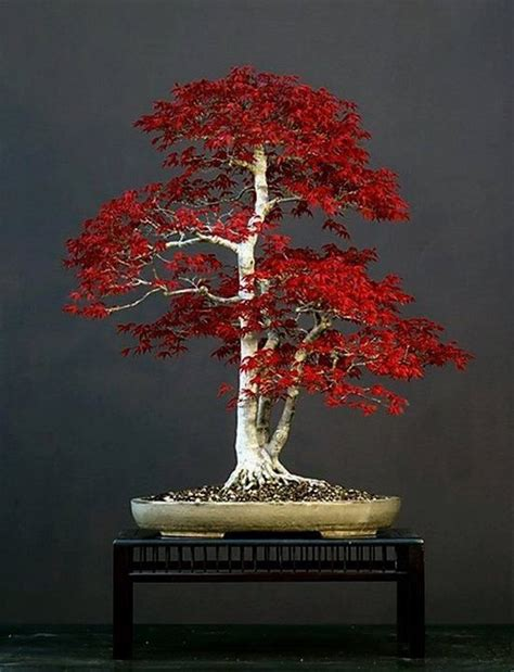 libro bonsai with japanese maples 25 best ideas about japanese maple bonsai on