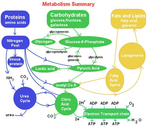 carbohydrates science definition the science metabolism ketoschool