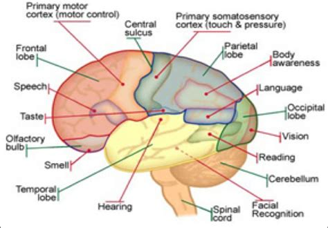 brain sections labeled in thalamus diagram labeled free download wiring diagram