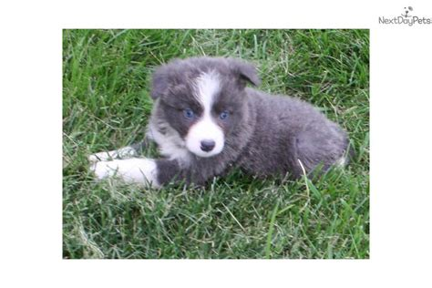border collie puppies for sale near me border collie puppy for sale near des moines iowa 0dd7181f 5131