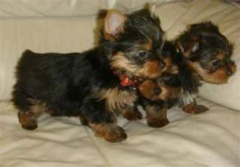 how to become a yorkie breeder 100 teacup size yorkie puppies for adoption 508 470 0262 tesuque animal pet