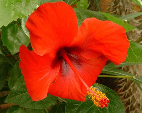 Bunga Hibiscus Scarlet nature flowers tafreeh mela urdu forum urdu shayari urdu novel urdu islam