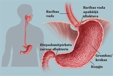 Kas Rem 250 gremošanas orgānu sistēma
