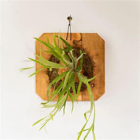 mounted staghorn fern large terrain